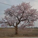 田んぼの中の桜