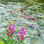 Fireweed and Sockeye