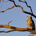 Waiting in a Locust tree