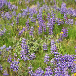 Subalpine Wildflowers III