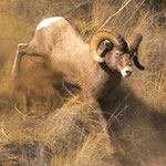 Big Horn Ram II