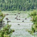 The Delta River Buffalo Herd