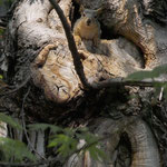 Tree Squirrel I