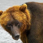 Grizzly (Coastal Brown Bear)