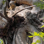 Tree Squirrel II