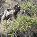 Big Horn Ram III