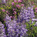 Subalpine Wildflowers I