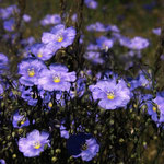 Flax Blossoms