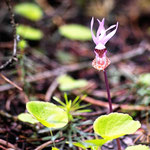 Fairy Slipper (or Calypso Orchid the only orchid native to the NW)