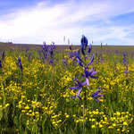 Camas on the Camas Prairie