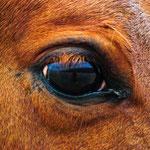In a horses eye