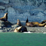 Steller sea lions in Prince William Sound