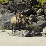 Big Horn Ram on the beach