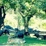 Wild Turkeys and Deer