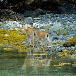 Sitka Deer