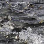 Pink Salmon Run, Valdez, AK III