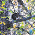 Northfork Squirrel