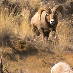 Big Horn Ram IV