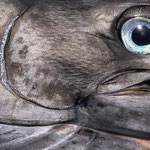 Marlin Eye