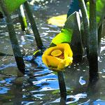 Bonnie Lake Lily Bloom