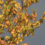 im Herbst verströmt der Kuchenbaum einen herrlich süßen Duft