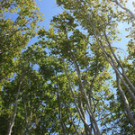 …und frisches Buchengrün - Buchen sind ganz typisch für den Darßwald und es gibt sehr imposante Exemplare davon!