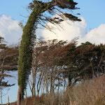 einer von vielen Darß-typischen Wintflüchtern auf der Düne - selbst der Efeu flieht mit