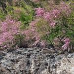 Blühender Tamariskenbusch