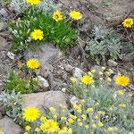 """Reichardien und Wucherblumen, rechts unten """"Sempre Viva"""""""