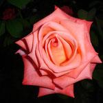 Rose im Volksgarten