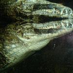 Reptilspiegelung