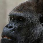 """""""Gorilla"""" von Helmut Holzer, 2. Platz (03/2014)"""