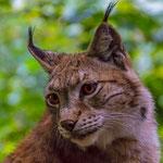 """""""Lynx lynx"""" von Ralf Flinspach, 1. Platz (02/2017)"""