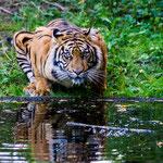 """""""Tiger"""" von Patrick Heinz, 1. Platz (09/2014)"""