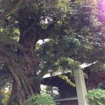 立派な木があります