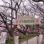 桜のトンネルくぐってみませんか?