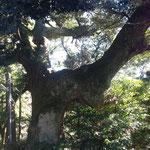 薬王院にある神秘的なでっかい木