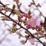 桜の種類によって咲いている花もあります