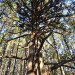 樹齢約500年の大杉