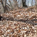 ふっかふかの落ち葉のじゅうたん。転んでも痛くないです