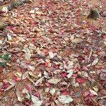 落ち葉が綺麗です