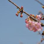ソメイヨシノではなく、河内桜という品種の桜は咲いてました