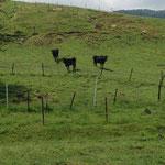 牛に監視されています