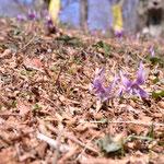 カタクリの花まつり会場のカタクリ