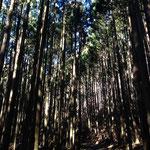 杉の林道を。この時期は花粉症の人はNGかも・・・