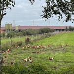 Unmengen freilaufende Hühner