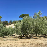 Olivenbäume in Lourmarin