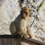 Es gibt sie wirklich, die Affen von Gibraltar