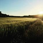 Sonnenuntergang über dem Weizenfeld