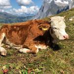 Kuh Elsa auf dem Eiger Trail